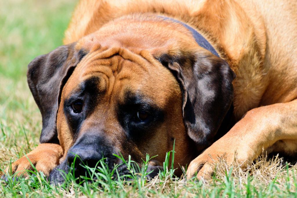 English Mastiff im Grass