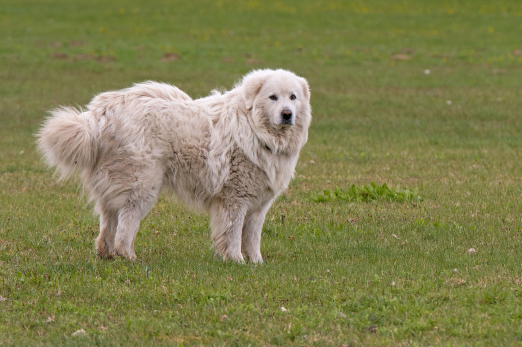 Pyrenäenberghund im Gras