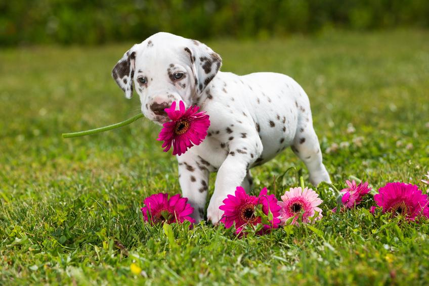 Dalmatinerwelpe hat Blumen im Maul