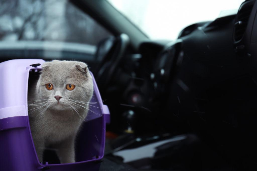 Katze im Auto