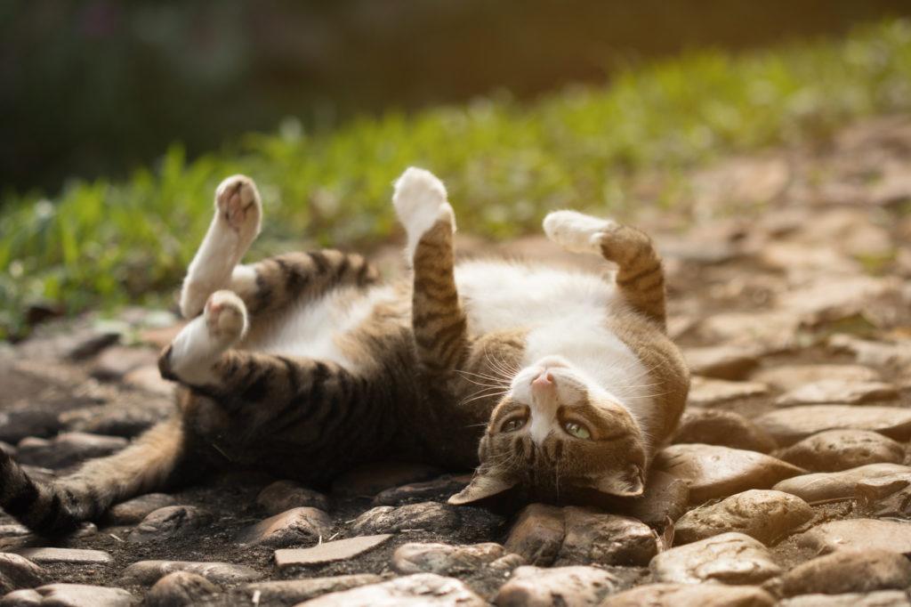 Krolsheid bij een kat