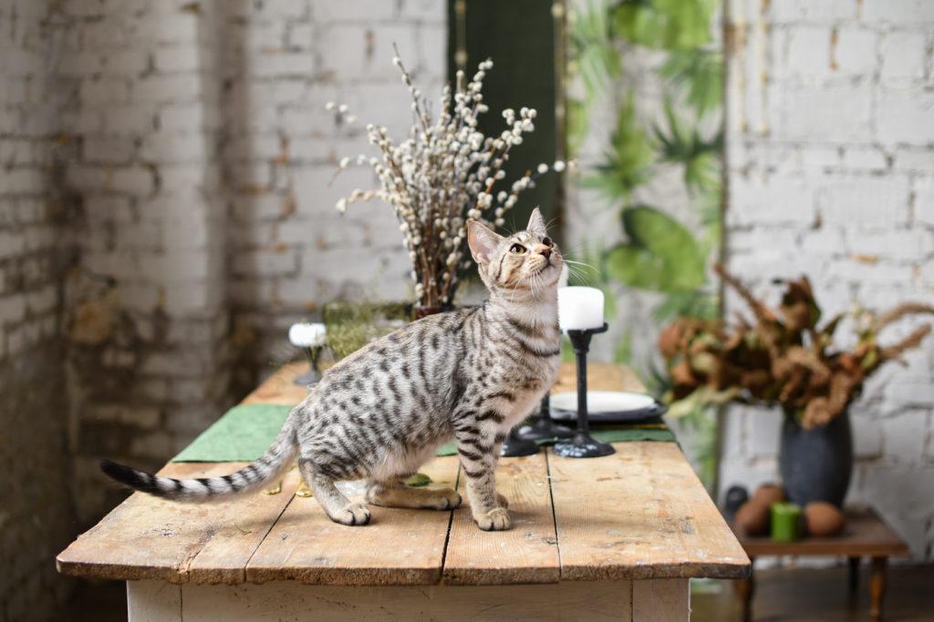 savannah kitten auf tisch