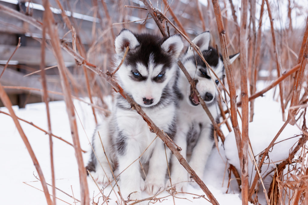 Sibirische Husky Welpen im Schnee