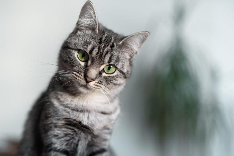 amerikai rövidszőrű, amerikai rövidszőrű macska, american shorthair