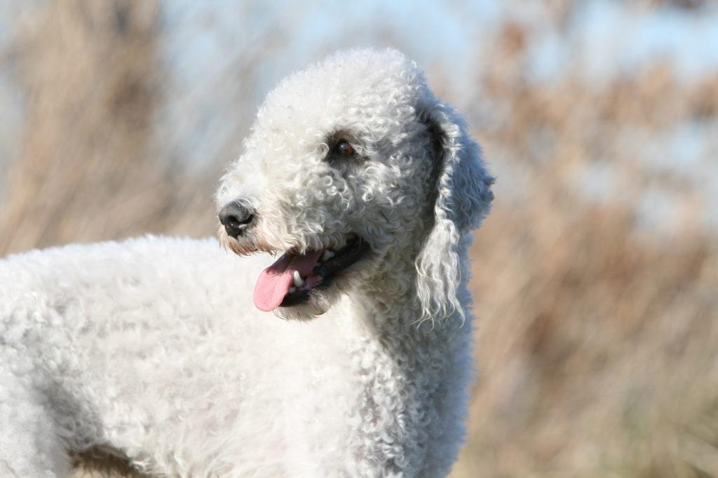 bedlington terrier weiß