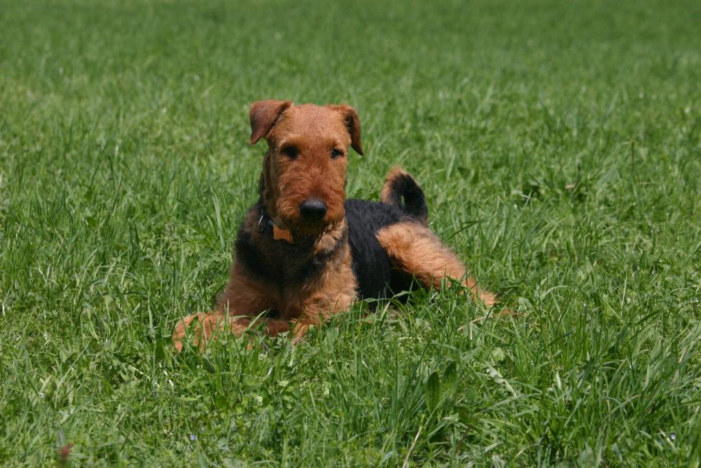 junge welsh terrier
