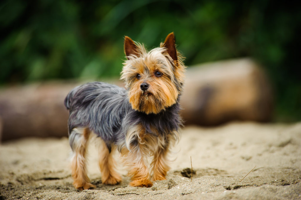 Yorkshire Terrier an einem Strand
