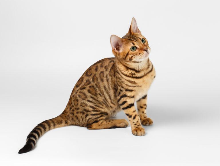 bengáli macska, tigris macska, bengáli cica, bengali macska, leopard macska