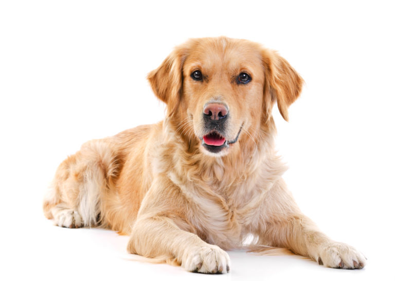 Golden Retriever, golden retriver, arany retriever, goldenretriver, golden kutya