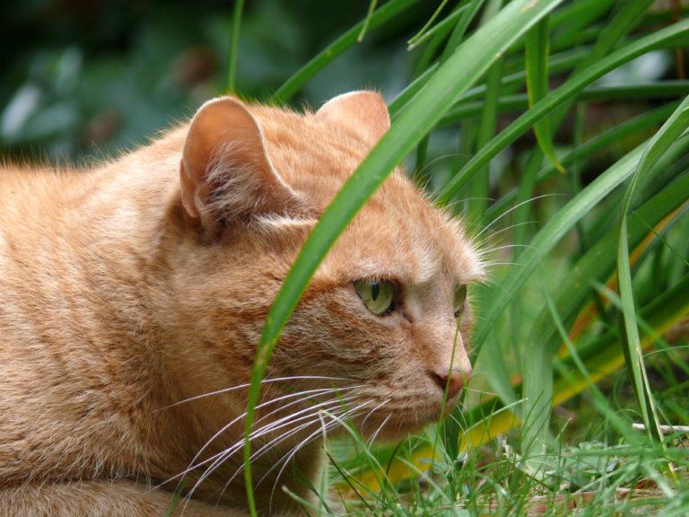 Nem mérgező növények macskák számára