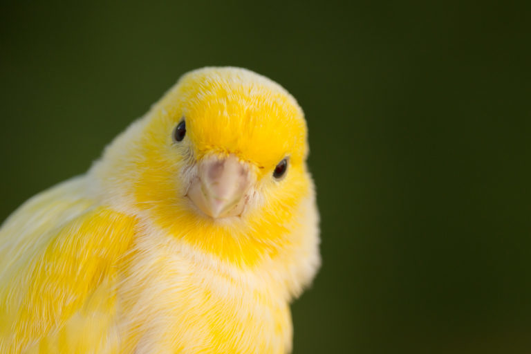kanári madár, kanári madár, kanári tartása, kanári betegségek