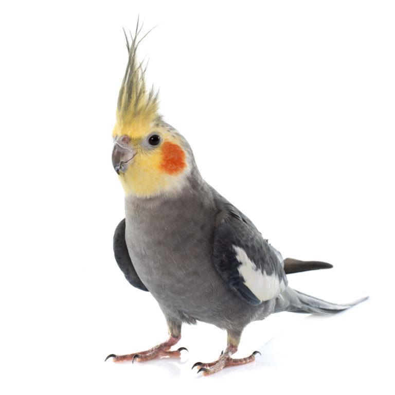 nimfapapagáj, papagáj, nimfa papagáj