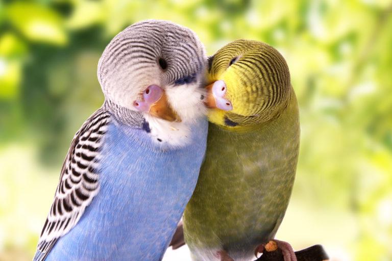 Hullámos papagáj társaságban