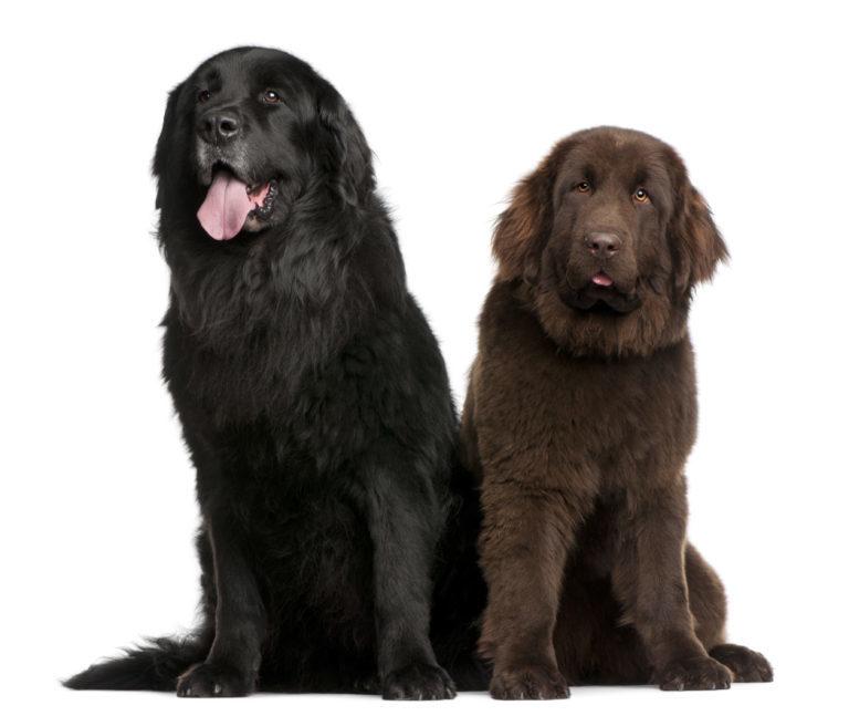 Újfundlandi kutya, újfullandi kutya, newfoundland dog