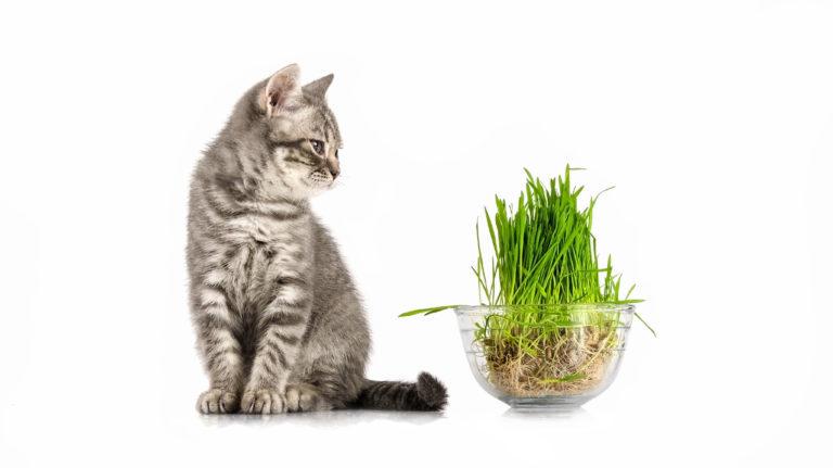 Az ideális macskafű