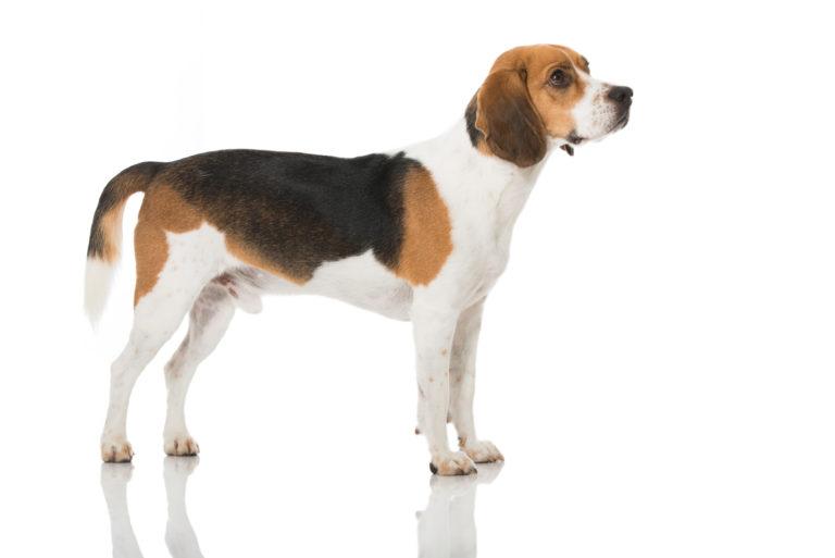 hogyan segítsem beagle-m fogyni