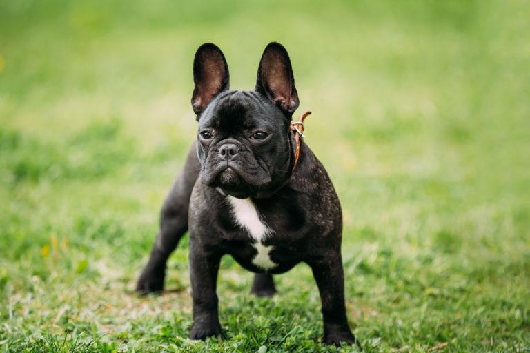 francia bulldog vérmérséklet, tudnivalók, tartása, etetése
