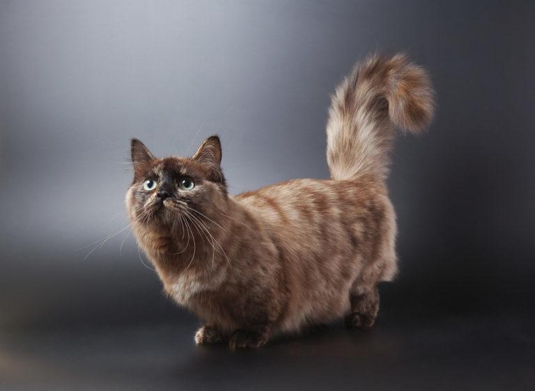 tacskómacska, munchkin macska, rövid lábú macska, rövid lábú cica