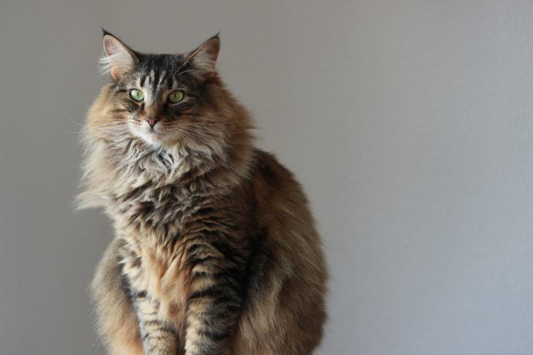 Norvég Erdei Macska