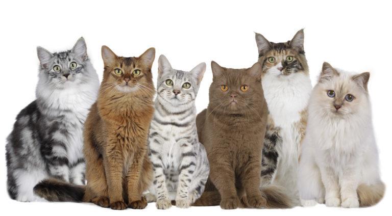 Fajtaspecifikus eledelek macskáknak
