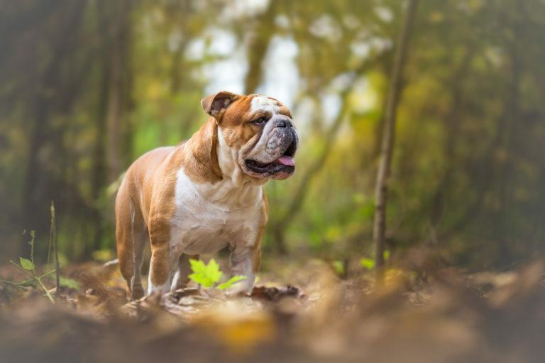 angol bulldog, angol buldog, bulldog fajták