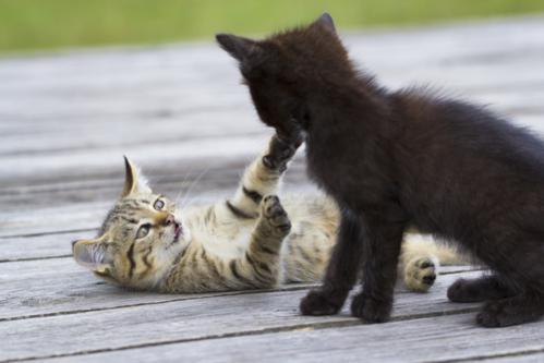 Macskák összeszoktatása