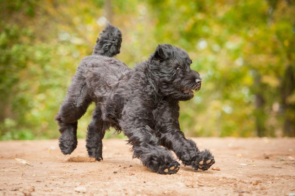 Russischer Schwarzer Terrier spielt