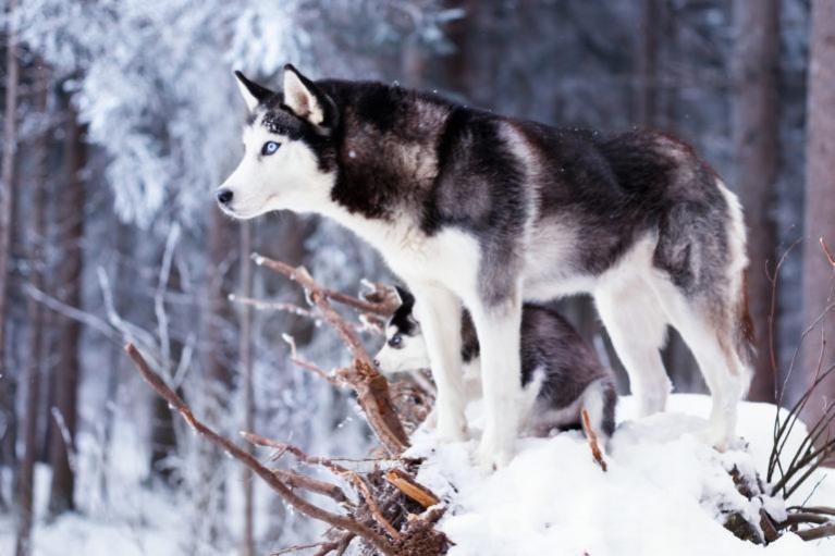 Szibériai husky, husky kutya, hászki