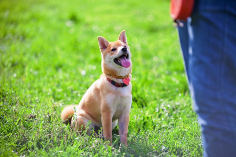 Obedience tréning kutyája számára