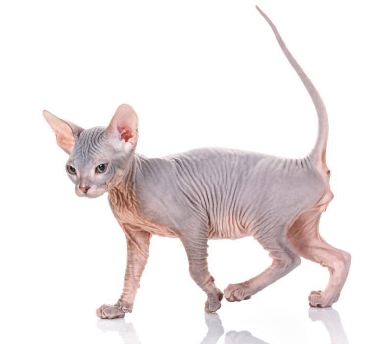 Szfinx macska, kopasz macska, csupasz macska, szőrtelen macska