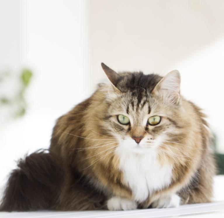 Szibériai macska