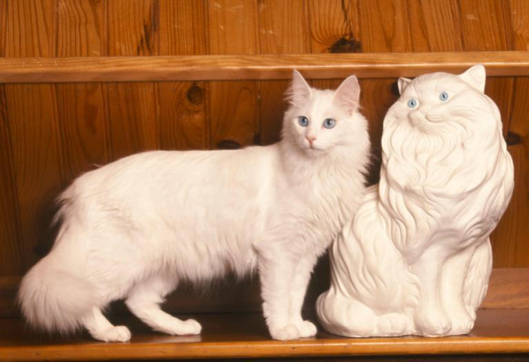 török angóramacska, török angóra macska