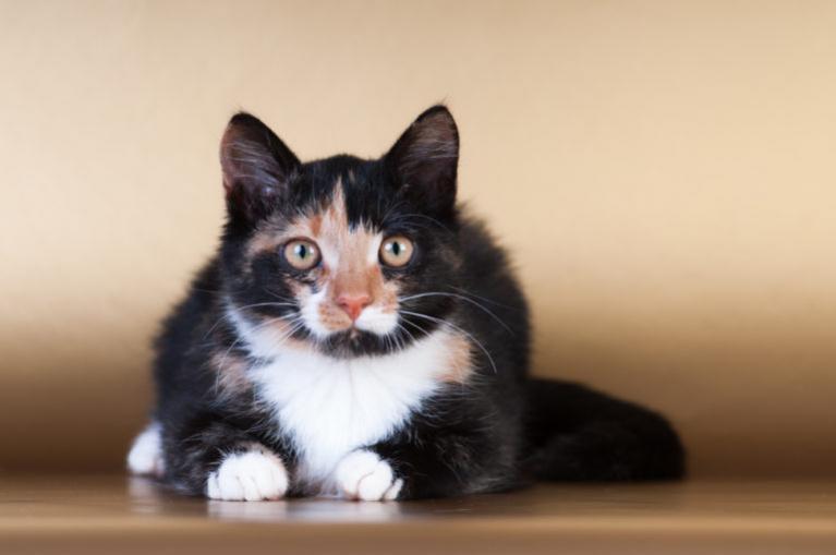 Tenyésztőtől vagy állatotthonból szerezzek be macskát