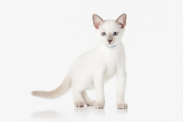 Thai macska