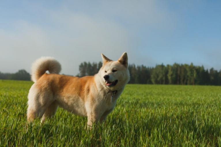 akita inu, japán akita kutya