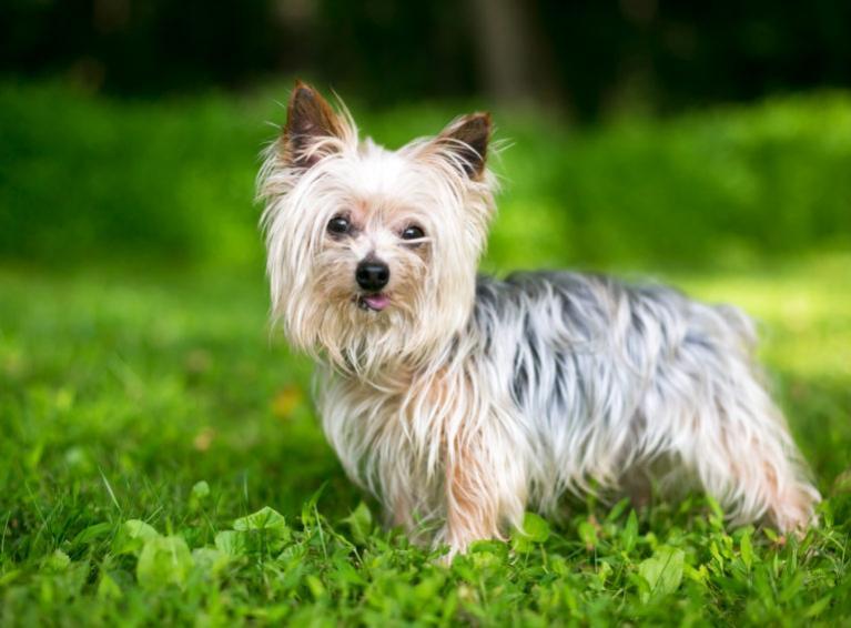 Yorkshire Terrier, yorki kutya, yorkie kutya