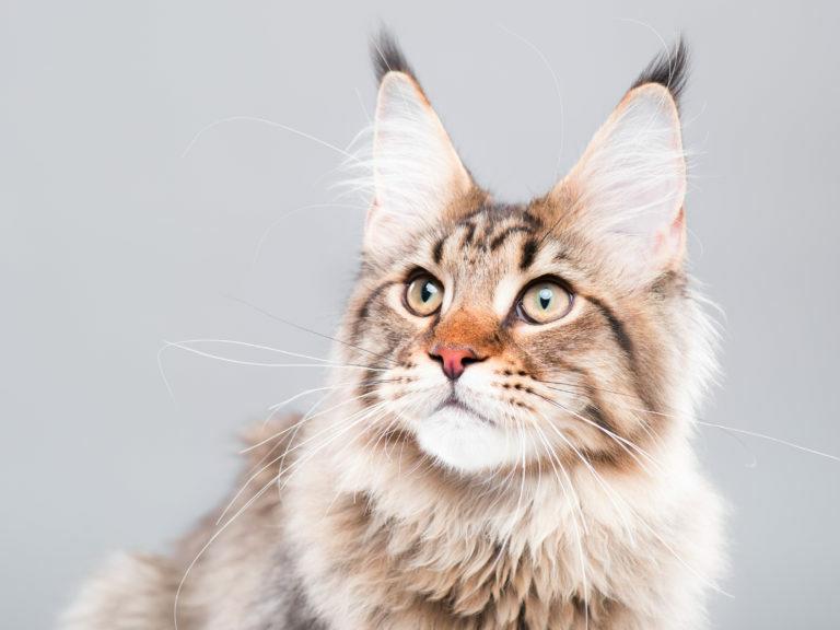 macska életkor, meddig él egy macska, macska élettartam, macska évek számítása