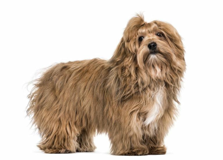 bichon havanese kutya, havannai pincs