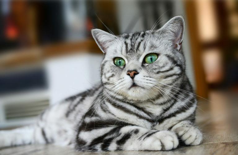 brit rövidszőrű macska, brit macska, brit cica, british shorthair