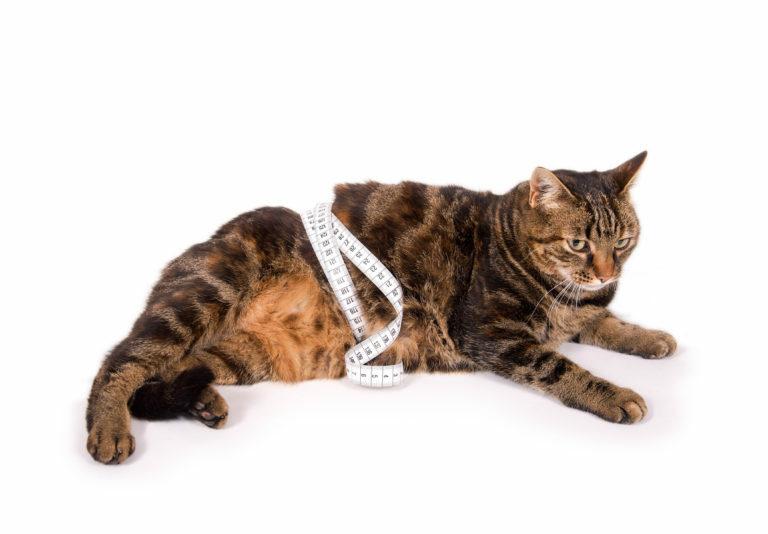 kövér macska, dagi cica, dagi macska, kövér cica