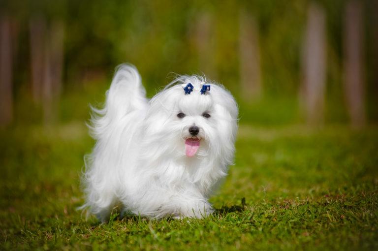 máltai selyemkutya, máltai kutya, malteser