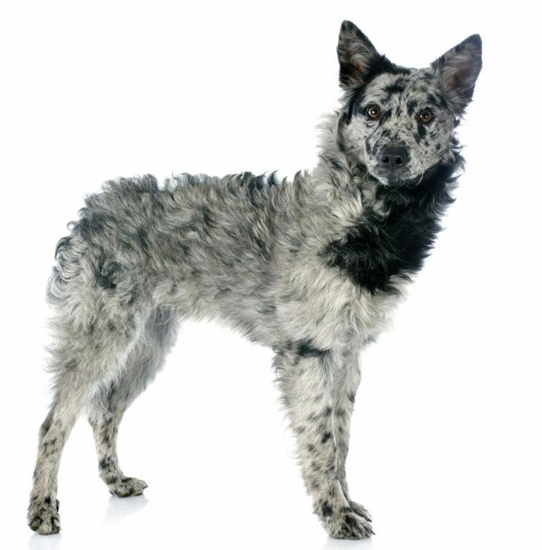 mudi kutya