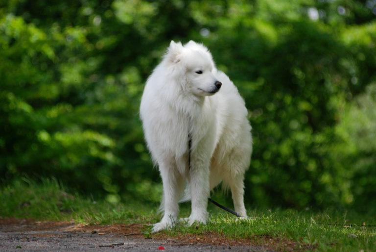 szamojéd kutya,, samoyed, szamojéd spicc, szamojéd ár, szamojéd spicc ár, szamojéd kutya ár