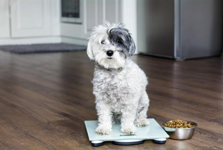 kutya elhízás tünetei, kutya túlsúly, kutya diétáztatása, kutya fogyókúrás étrend