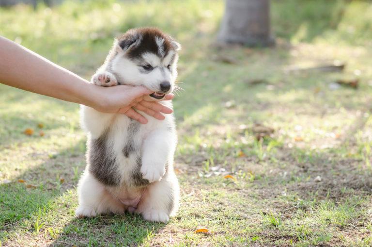 miért harapja meg a kiskutya a gazdáját, harapós kutya, harap a kutya, harapós kiskutya nevelése