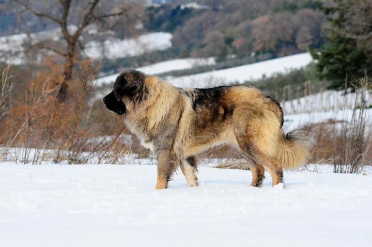 kaukázusi juhászkutya, kaukázusi medveölő kutya, kaukázusi kutya, kaukázusi juhász