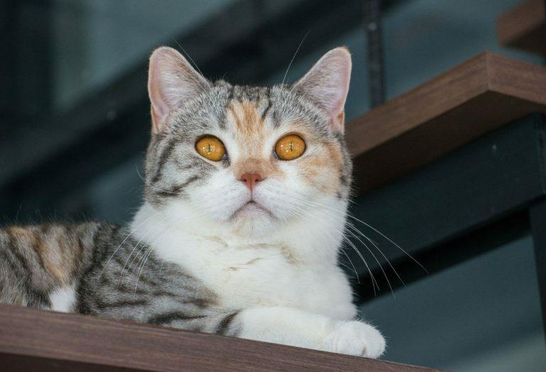 amerikai drótszőrű macska