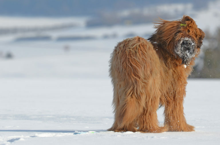 briard, brie i juászkutya. briárd kutya