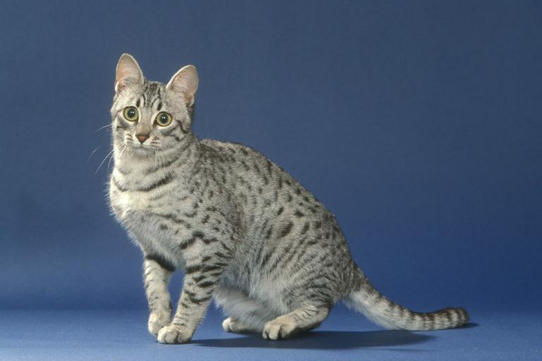 egyiptomi mau macska, egyiptomi macska,