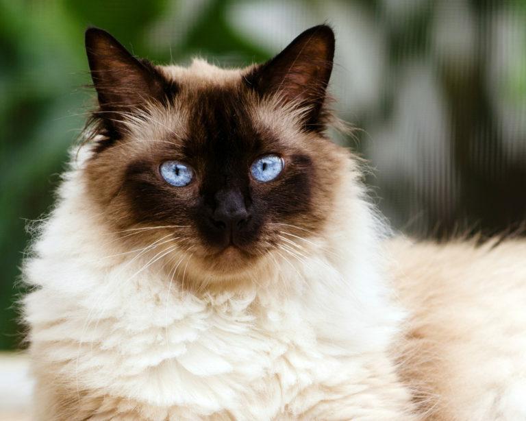 himalája macska, himalája perzsa macska, himalája cica